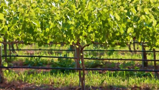 Grapevine near Santa Maria