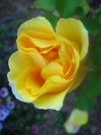 Blooms_of_a_yellow_rose